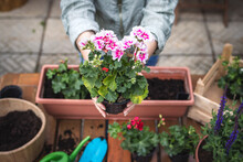 Planting Geranium Seedling On Table. Woman Holding Pink Pelargonium Flower In Hands. Gardening At Springtime