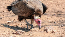Hooded Vulture Curiously Searches For Drops Of Blood And Food.