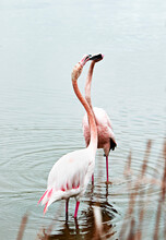 Two Flamingos On The Pond Fighting