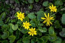 Spring Flower Lesser Celandine (Ficaria Verna) In A Nature