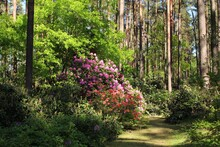 Rhododendron Bushes Bloom With Very Beautiful Multi-colored Flowers With The Onset Of Spring