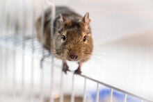 Peretty Degu Squirrel In The Cage On White Background