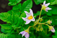 Close-up - Flowering Potato Bush With Pale Purple Flowers