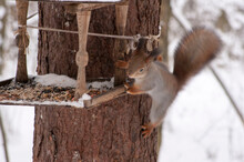 A Red Squirrel Sits On A Tree Trunk Near The Feeder.