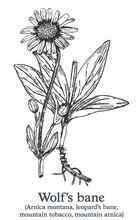 Wolf's Bane. Vector Hand Drawn Plant. Vintage Medicinal Plant Sketch.