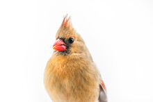 Closeup Of Northern Cardinal Female Cardinalis Bird Isolated With Red Beak During Winter Snow And White Background