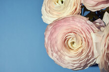 Pink Ranunculus In A Vase On A Sky-blue Background.
