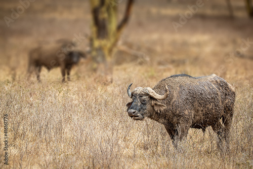 Cape Buffalos in Kenya Africa © adogslifephoto
