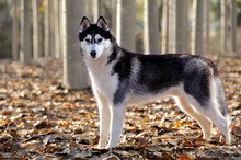 Male Adult Siberian Husky Purebred Dog Standing Profile  Freedom With Black And White Coat In A Forest On Dry Leaf Blanket