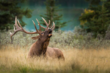 Bull Elk (Cervus Canadensis) (Wapiti) With Big Antlers, Laying And Resting On The Grass While Calling Cow Elks During The Rut Season In Fall In The Canadian Rockies