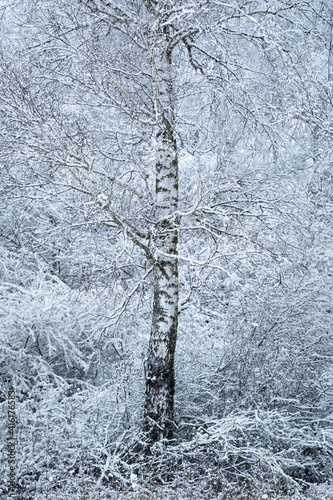 Fototapeta Winter silver birch forest in the foothills of Velka Fatra mountains