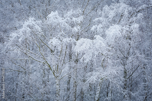Fotografie, Obraz Winter silver birch forest in the foothills of Velka Fatra mountains