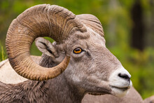 Closeup Portrait Of A Male Bighorn Sheep (Ram) (Ovis Canadensis) During Summer In The Canadian Rockies