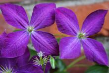 Purple Clematis Flowers