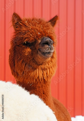 Fototapeta premium Portrait of a furry alpaca with snow on its face at a farm in New Jersey