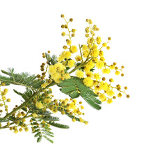 Beautiful Mimosa Plant With Small Yellow Flowers On White Background, Closeup