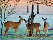 Three Deer By Bird Feeder At Dusk In Backyard
