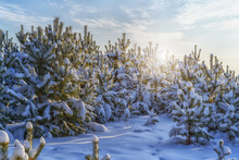 Young Pine Trees In The Snow After A Snowfall, Close-up. Pure Soft Snow Lies Underfoot. In The Blue Sky, Cirrus White Clouds Of A Bizarre Shape, Through Which The Sun Peeps Out. Winter Forest
