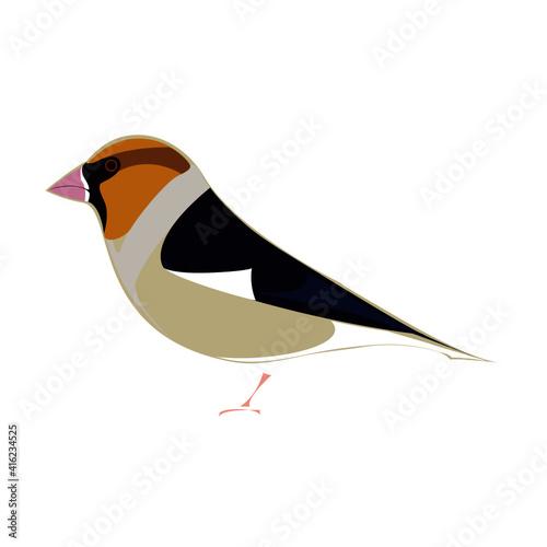 Fotografia, Obraz Illustration of  Hawfinch bird