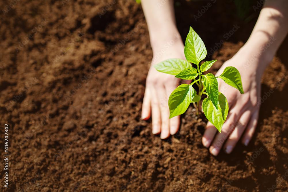 Fototapeta Human hands taking care of a seedling in the soil