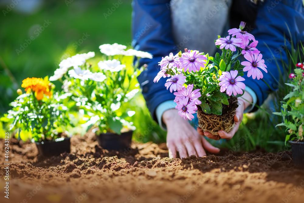 Fototapeta Woman hands putting seedling flowers into the black soil