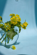 Sinapis Arvensis, Mustard Spring Yellow Blossom Against In A Glass Vase With Water Drops. Bouquet Of Sinapis Arvensis On A Blue Background. With Space For Your Text-image