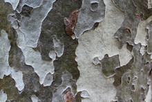 Plane Tree Bark Natural Background In Grey Colors. Horizontal Image