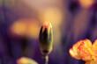 Pąk goździka w rozmytej kompozycji z pięknym barwnym tłem. Subtelne, wiosenne zdjęcie.