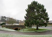 Large Pine Tree On Rural Village Green In Frosty Winter