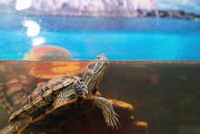 Domestic Red-eared Turtle In The Aquarium. Pond Slider. Trachemys Scripta.