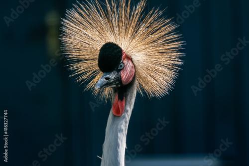 Fototapeta premium Beautiful crowned crane (Balearica pavonina)