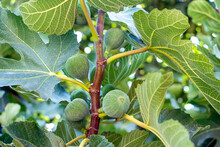 Green Unripe Figs Hang On A Branch. F