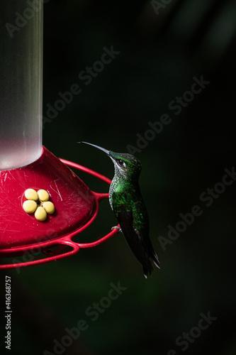 Fototapeta premium hummingbird feeding on feeder