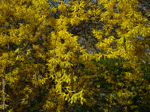Fototapeta spring yellow flowers shrubbery