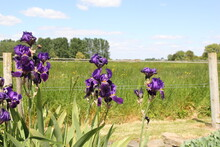 A Bearded Iris Plant With Purple Flowers In The Border In The Garden In Summer And A Green Meadow With Trees And Blue Sky In The Background