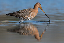 Black-tailed Godwits (Limosa Limosa) Standing In Shallow Water Of The Wetlands, Photo Was Taken In The Netherlands.
