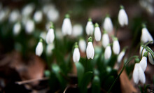 First Wild Spring Flowers Showed Their Leaves And Petals After Hibernation. White Snowdrops Grow In Forest In Clearing. Horizontal Floral Banner With Space For Text And Soft Bokeh.