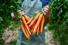Ripe Natural Organic Freshly Picked Carrots In The Hands Of Farmer. Harvest Country Village Agriculture Concepts. Healthy Organic Food, Vegetables, Vitamin Keratin.