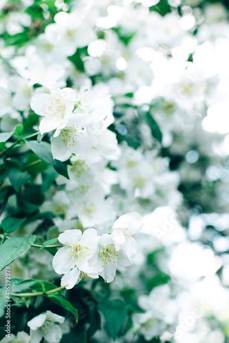 Fototapety, obrazy: White jasmine flowers natural floral background. Summer spring concept.