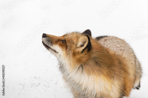 Fototapeta premium Red Fox (Vulpes vulpes) Looks Up and to Left Winter
