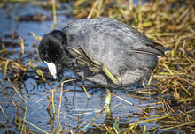 American Coot (Fulica Americana) Showing Unique Foot Webbing On Toes While Scratching Head, Red Eye