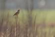 Dziki ptak skowronek polny siedzący na gałęzi.