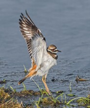 Killdeer (charadrius Vociferus) Stretching Wings While Standing At Shore Line, Orange Tail, Red Orange Eye, Black Rings On Neck, Incredible Feather Detail, Long Yellow Legs, Shallow Water