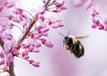 Bumble Bee In Flight Approaching Beautiful Pink Eastern Redbud Blossoms.  Focus Is On The Bee.