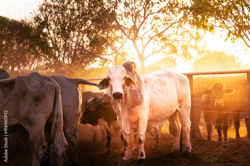 Canvas Print The bulls in the yards on a remote cattle station in Northern Territory in Australia at sunrise