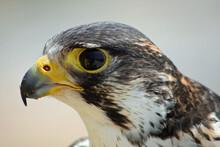 Peregrine Falcon Stare Down