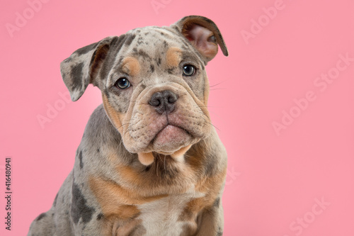 Photo Portrait of a cute old english bulldog puppy looking at the camera on a pink bac