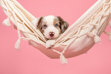 Cute Border Collie Puppy Lying In A Hammock Looking At The Camera On A Pink Background