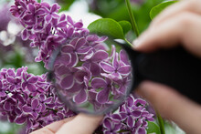 Blooming Lilac Branch Under Magnifying Glass