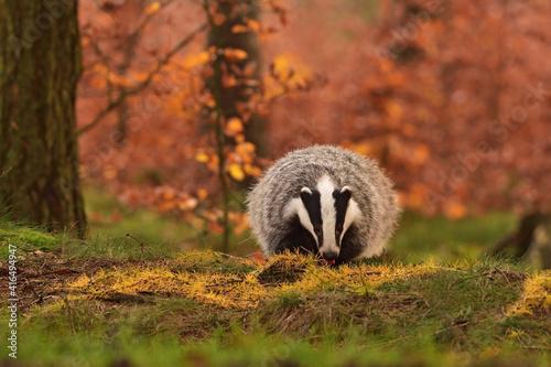 Cuadros en Lienzo Cute badger in the forest